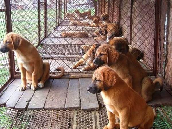 双城肉狗养殖基地厂家