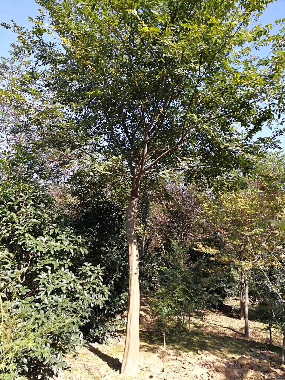 肥城15公分朴树-出售价钱