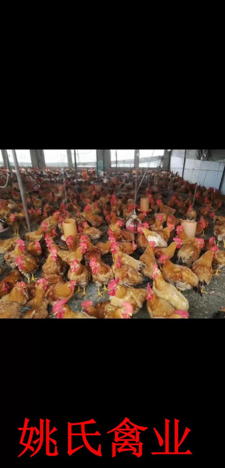 江西湖口县五黑鸡苗养殖场