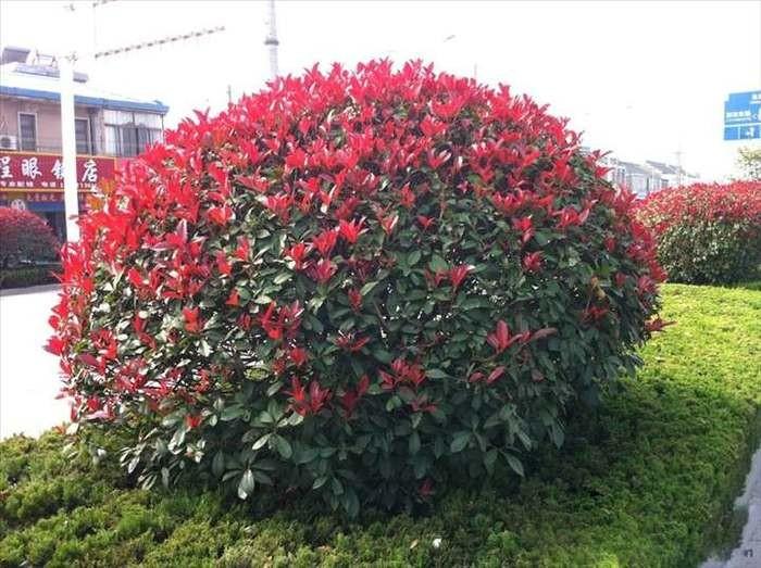 泰州市当年生鸡爪槭小苗多少钱-哲玮苗木