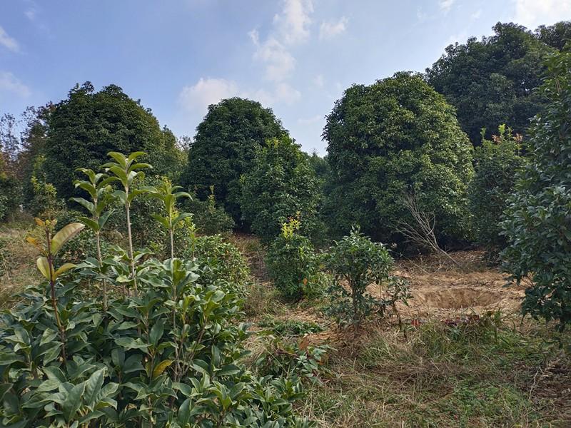 上海当年生鸡爪槭小苗绿化-哲玮苗木