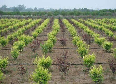 湖南省怀化市樱桃树小管出流价格生产基地