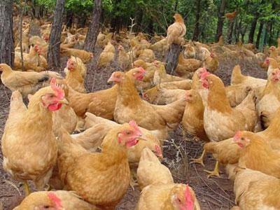 贵阳土鸡苗多少钱磐安县山鸡养殖前景