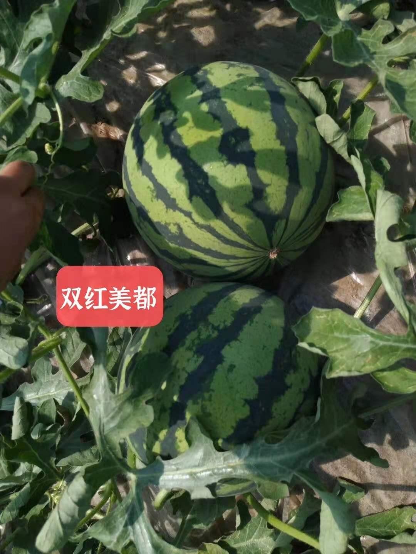双红甜美地(雷)西瓜种子新疆西瓜