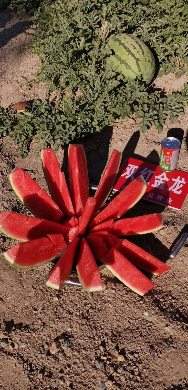 双红种业西瓜种子诚招经销商