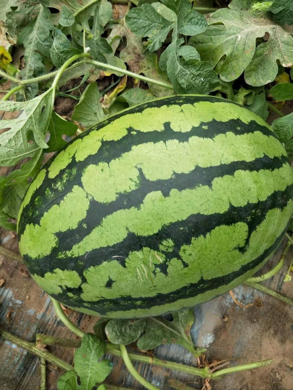 优质甜王西瓜种子名家培育高端品质