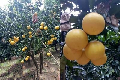 葡萄柚树苗哪家苗好秀山