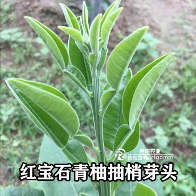 汉源泰国暹罗红柚苗/泰国三红柚子苗哪里比较正宗有保障