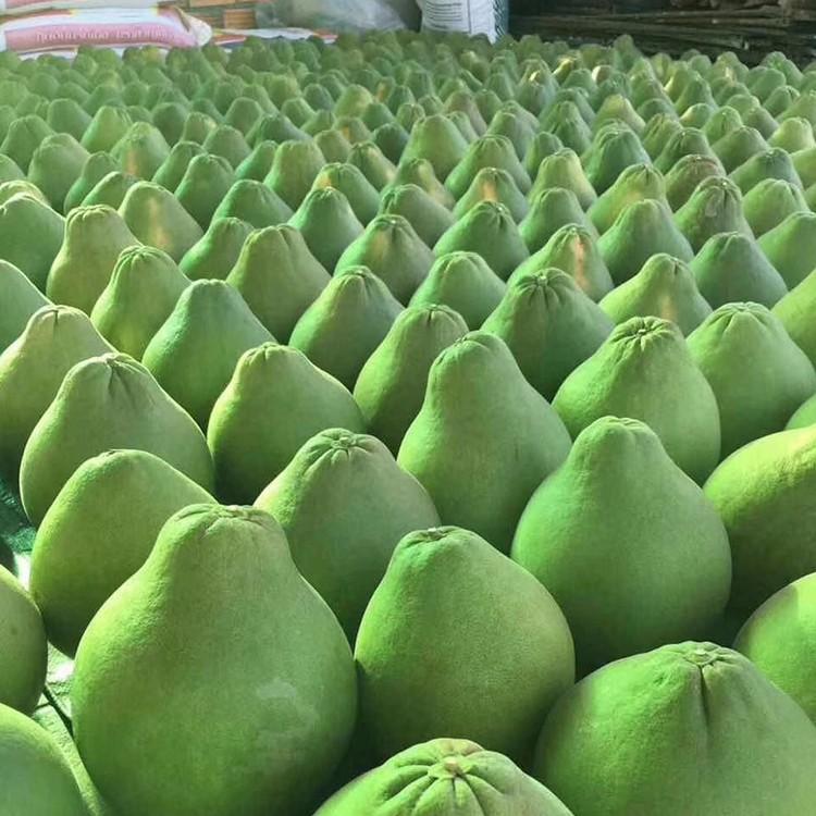 武陟泰国青柚苗收购价一斤多少【福建正达红宝石青柚苗木】